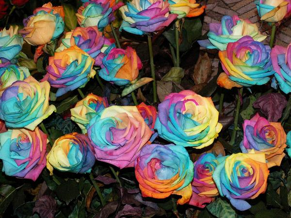 Rainbow rose idiot youth for How much are rainbow roses
